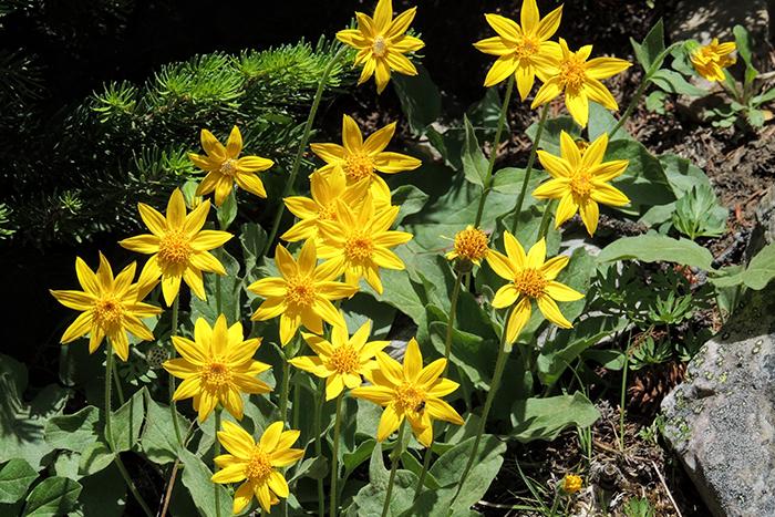 beneficios de la flor de árnica