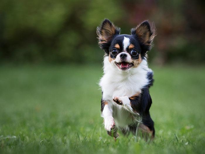 Perro chihuahua comportamiento