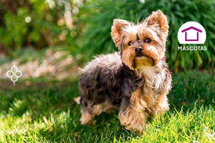 Yorkshire Terrier: único y divertido